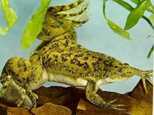 Шпорцевые лягушки