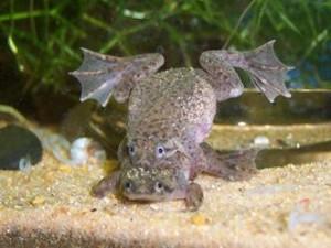 Лягушка карликовая, карликовый когтеносец