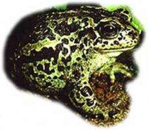 Сибирская лягушка (монгольская жаба)