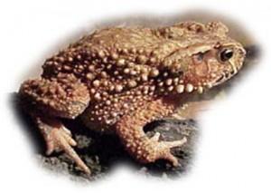 Вьетнамская горная жаба