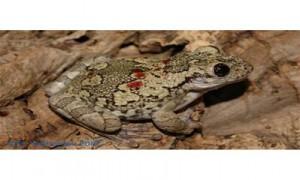 Краснопятнистая жабовидная квакша