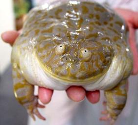 Лягушка Баджита обыкновенная