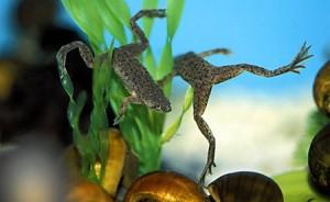 Гименохирус – лягушка  для аквариума