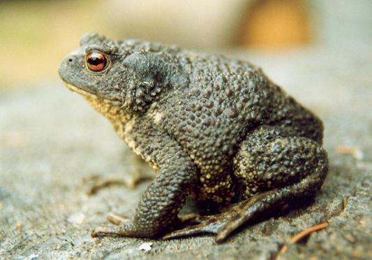 Серая жаба » Всё о лягушках » Огромные лягушки, жабы и другие ...