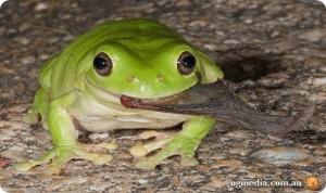 Лягушки умеют  выводить предметы из организма
