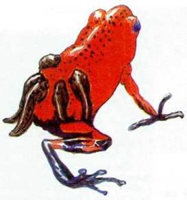 Лягушка-коровница