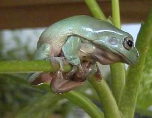 Австралийские квакши Litoria caerulea