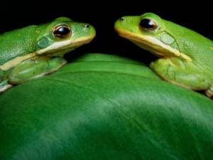 О видах зеленых лягушек