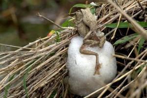 Лягушки, вьющие гнезда