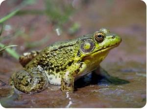 Устойчивая гибридная форма зеленых лягушек