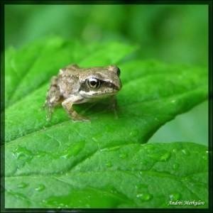 Развитие молодняка озерной лягушки