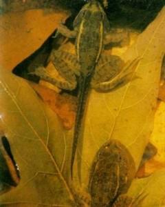 Зеленые лягушки – выведение потомства