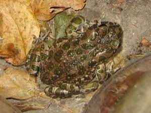 Лягушки и жабы – помощники садоводов